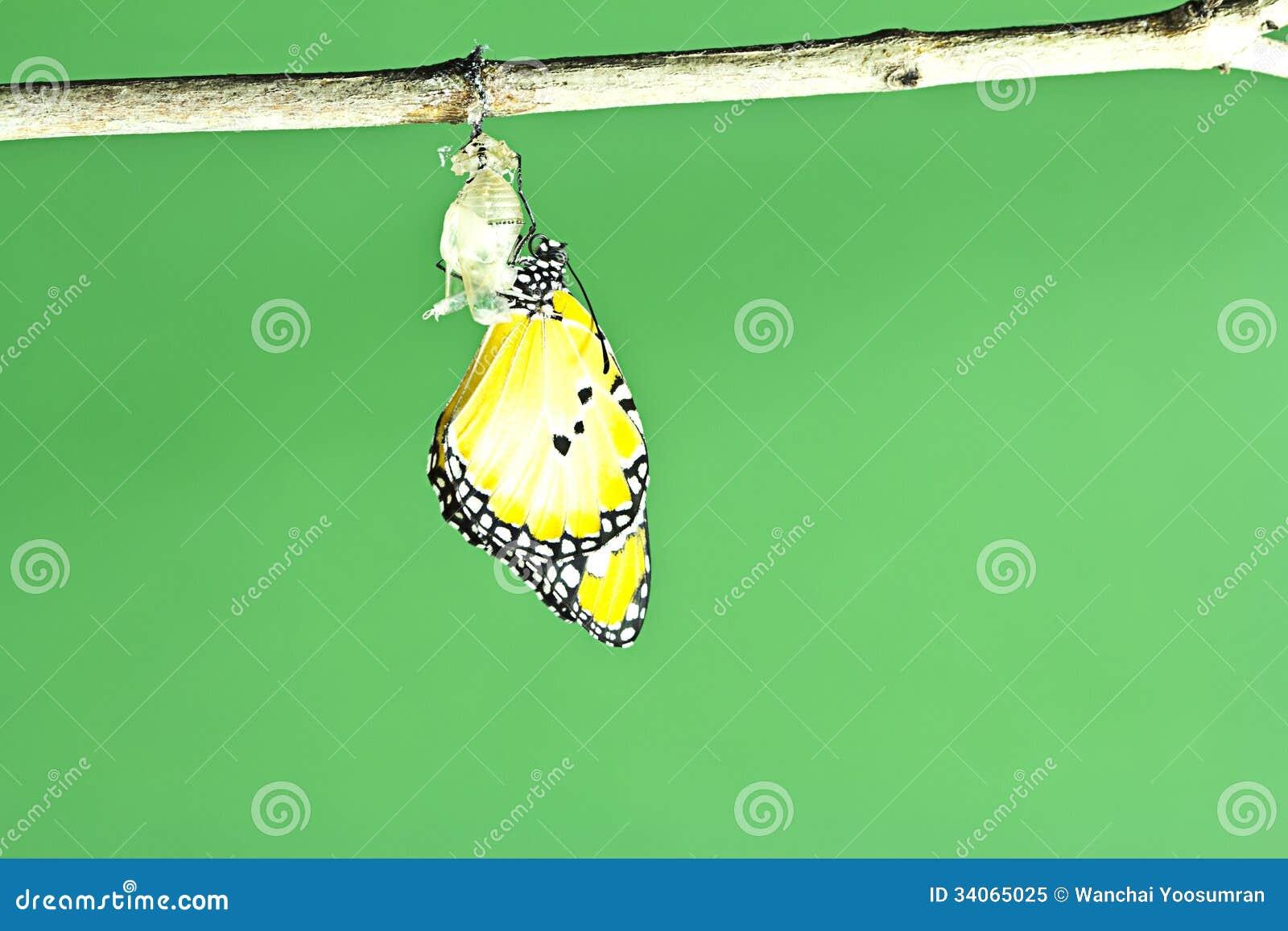 Farfalla di monarca che emerge