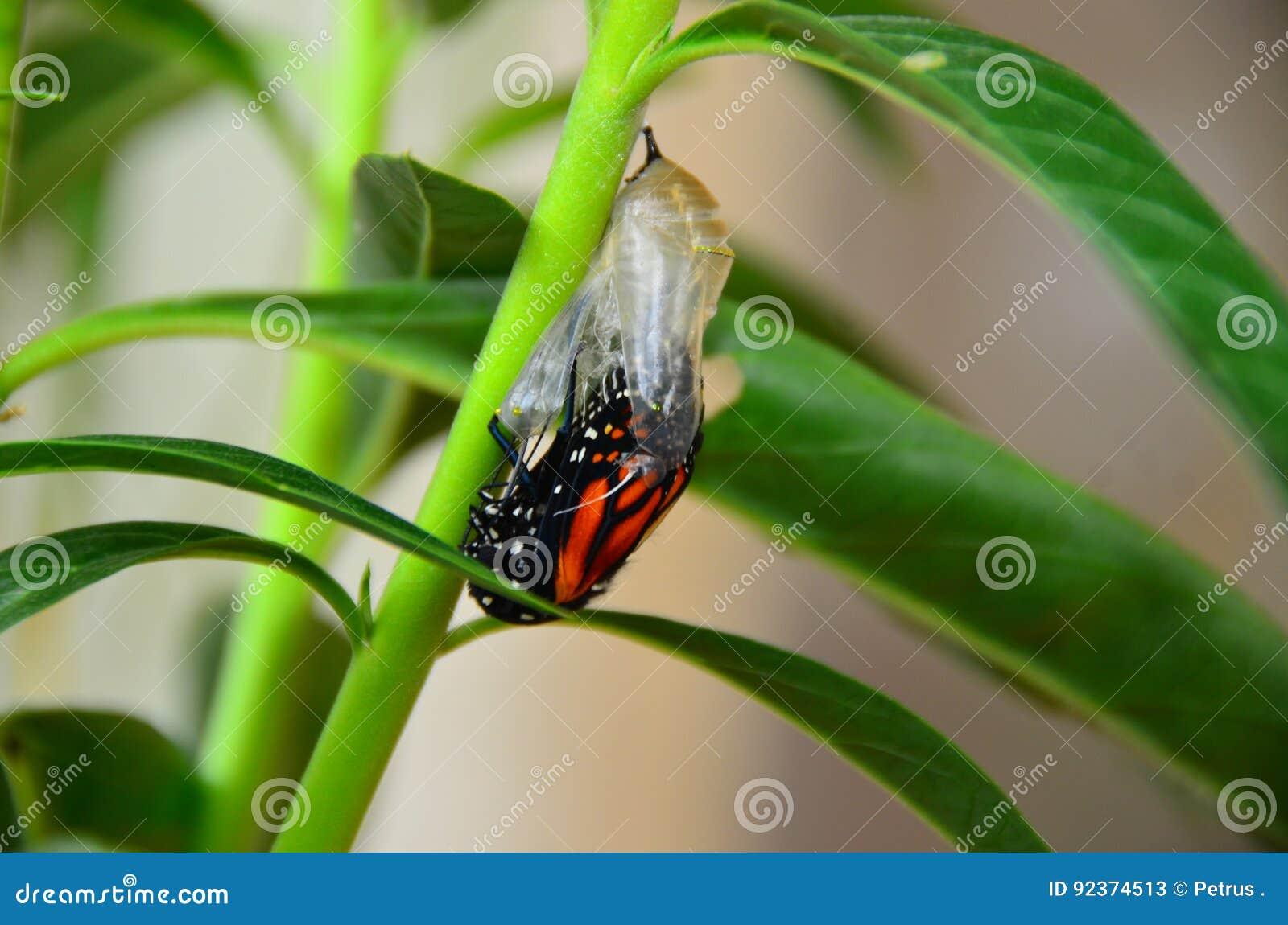Farfalla di monarca Chrysalis
