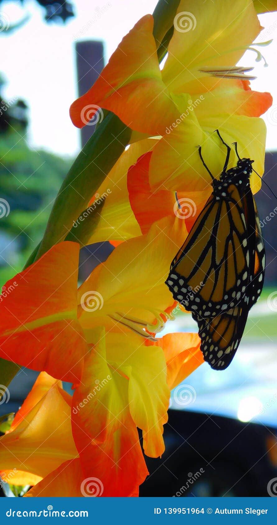 Farfalla di monarca & di gladiolo