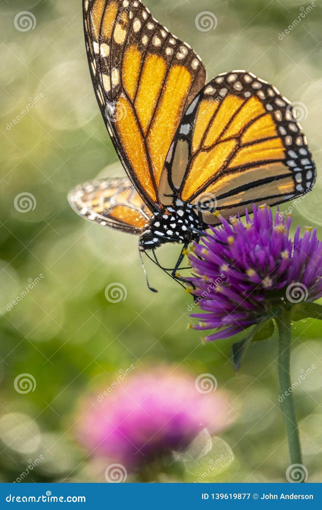Farfalla di monarca, plexippus del Danaus