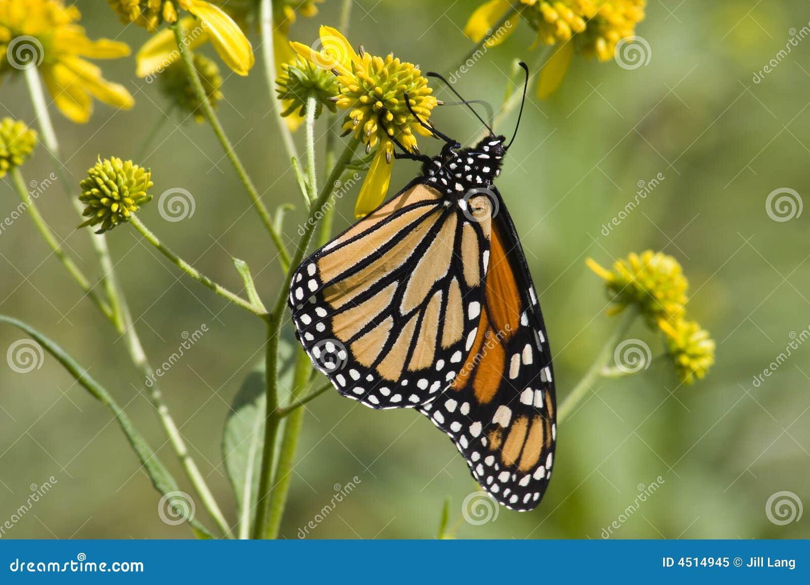 Farfalla di monarca sui Wildflowers