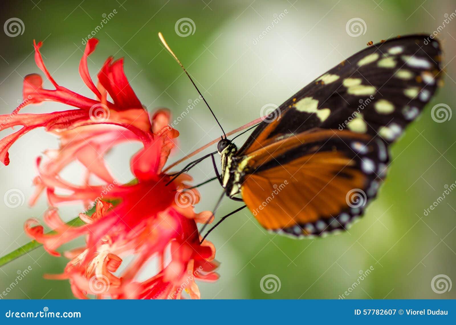 Farfalla di monarca sul fiore