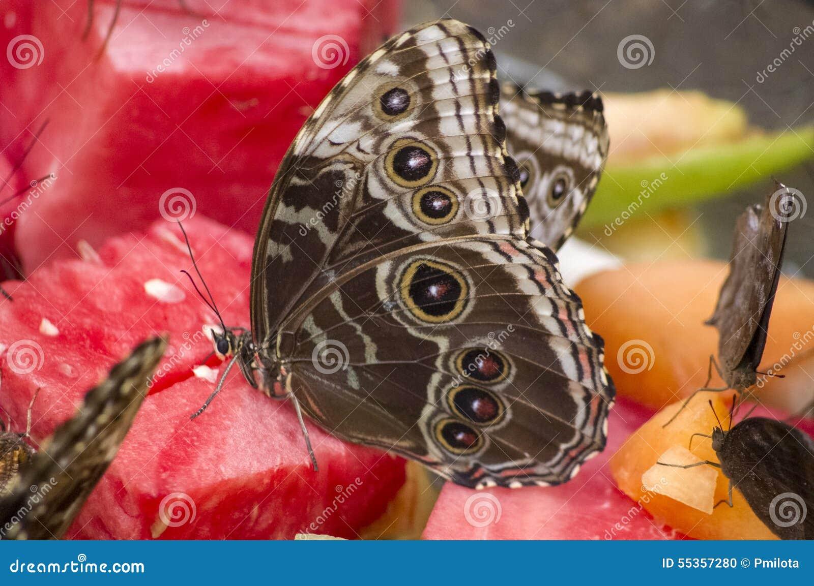 Farfalla di Morphos