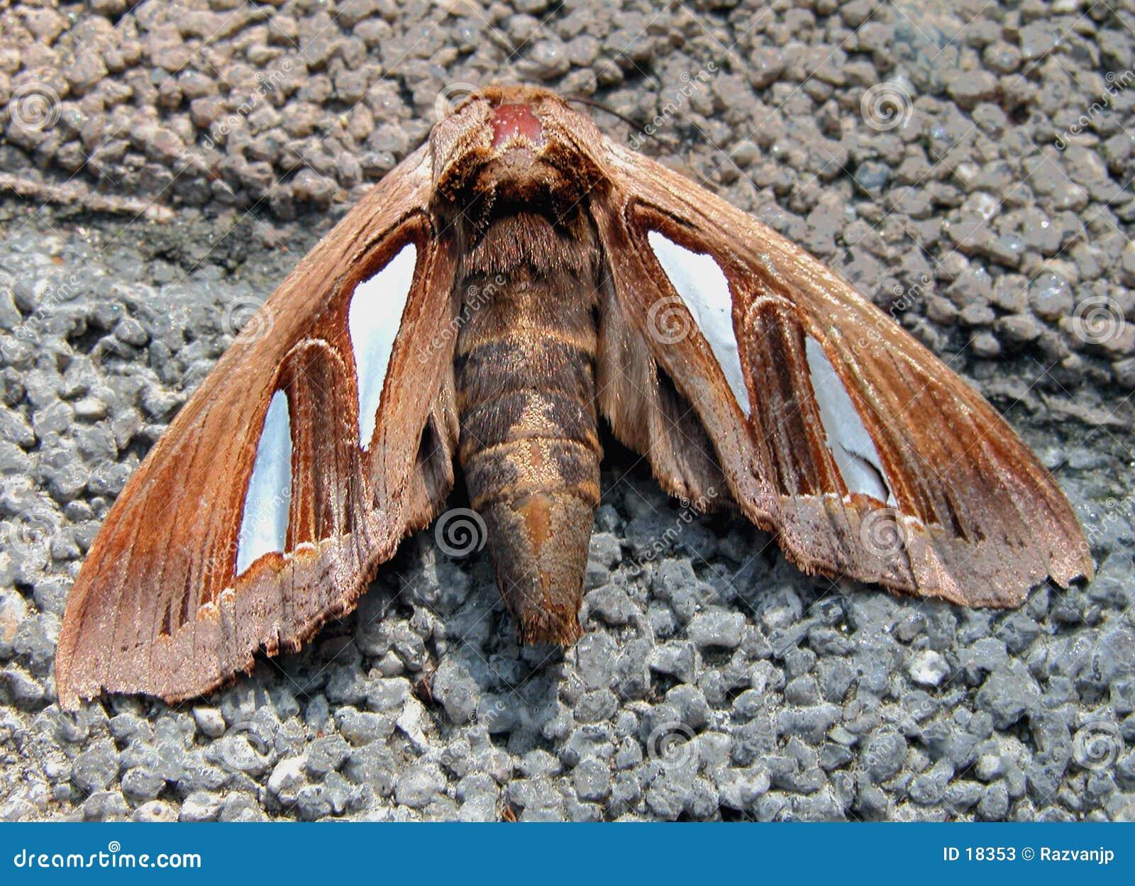 Farfalla di notte