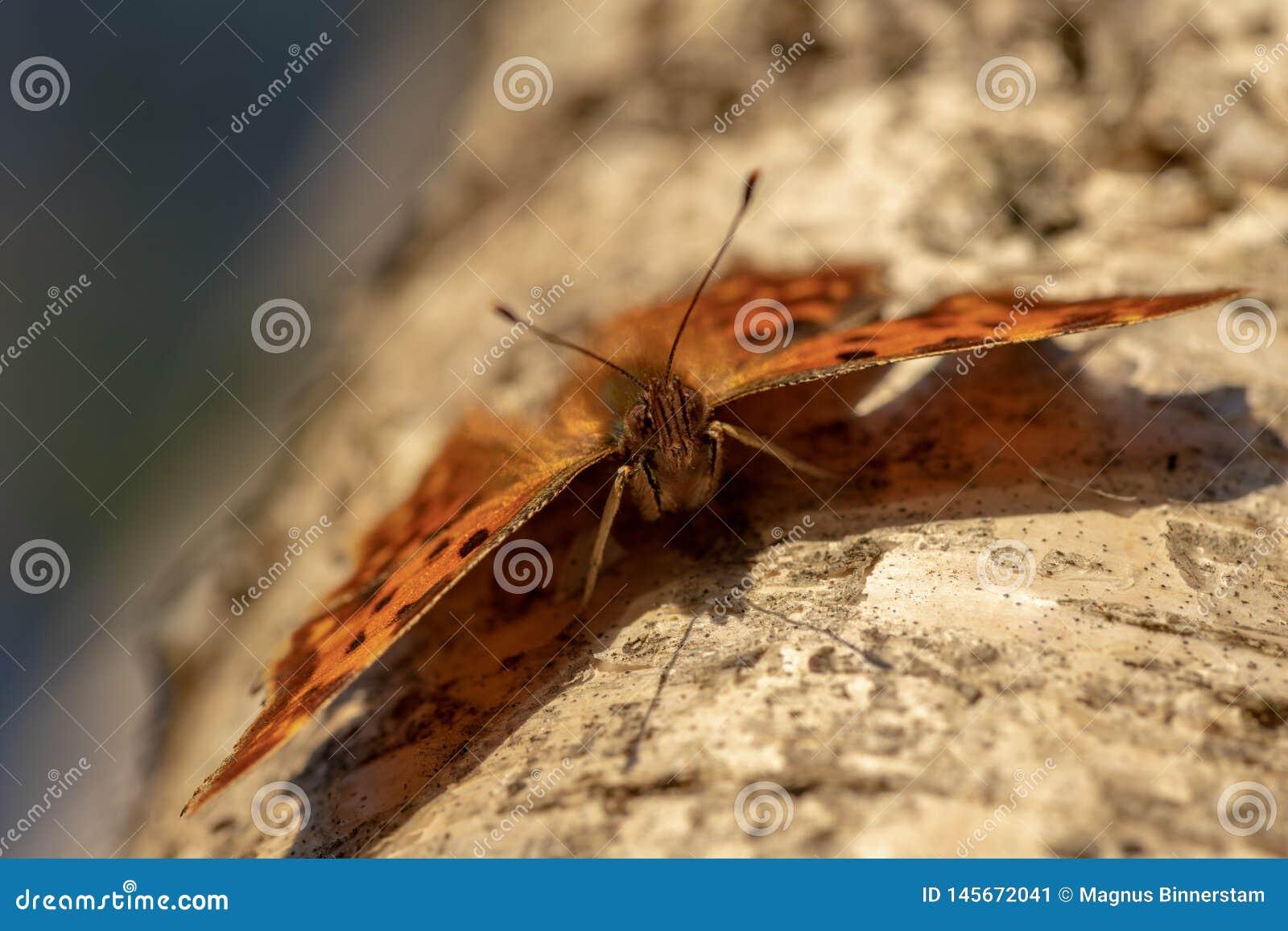 Farfalla di virgola che si siede su un tronco della betulla al sole