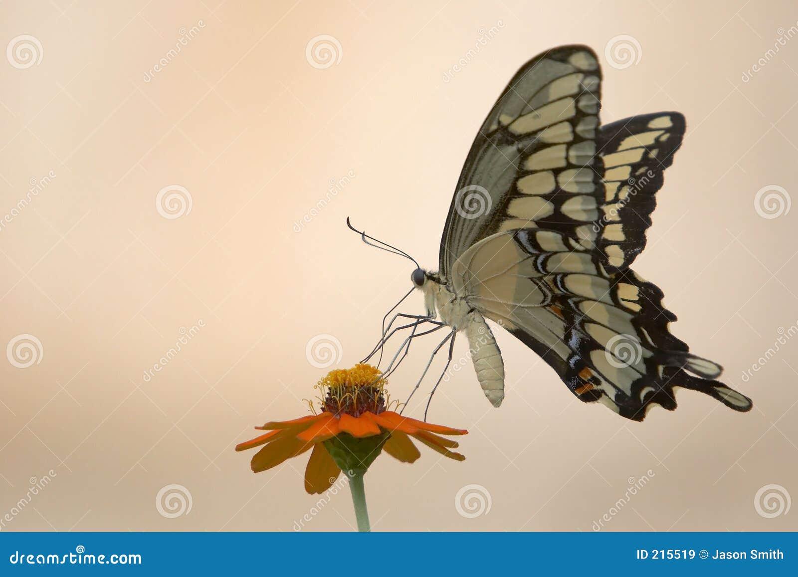 Farfalla e fiore