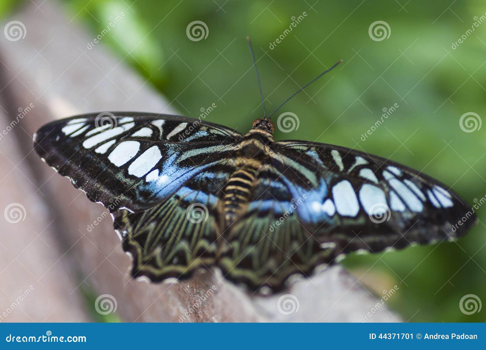Farfalla esotica