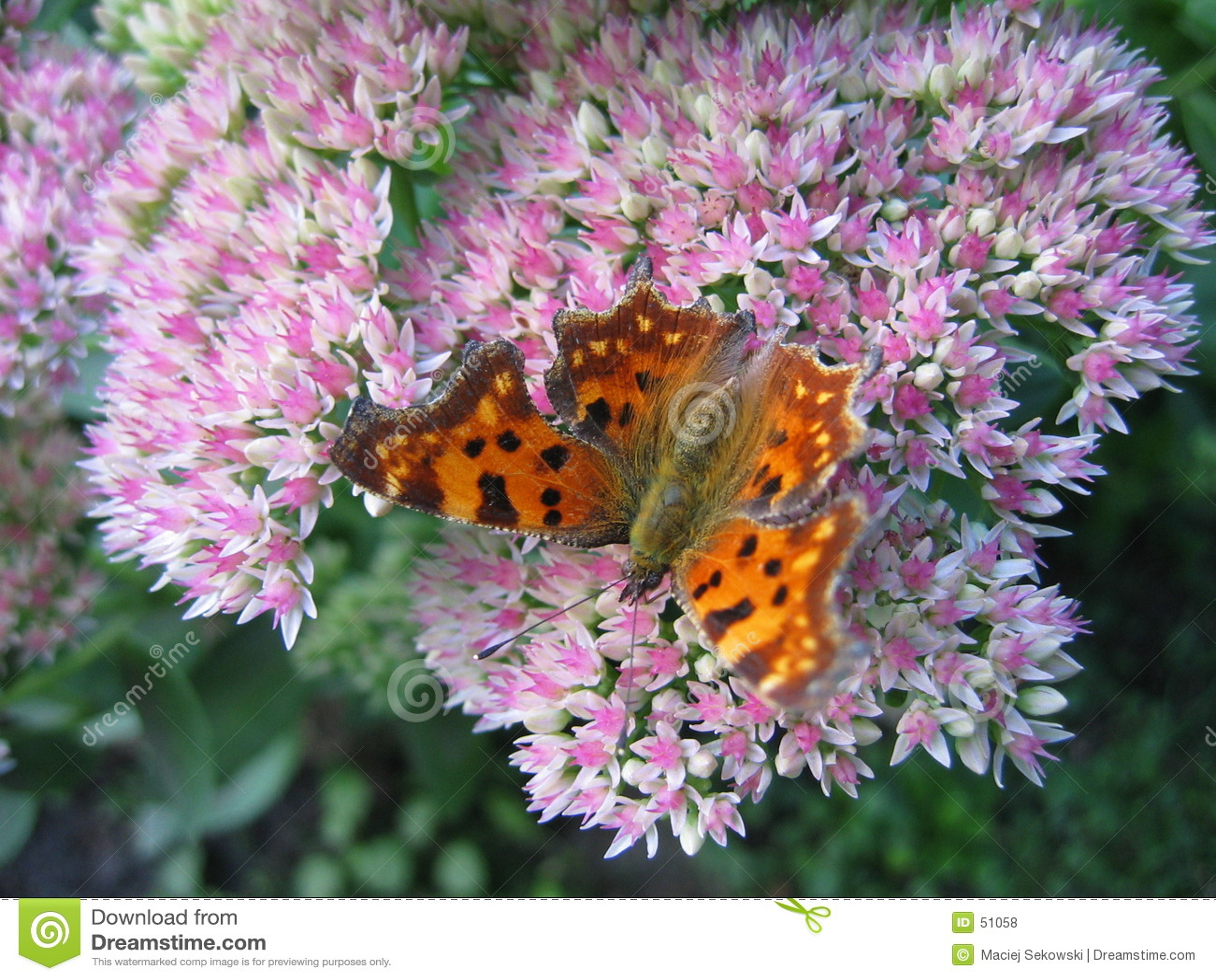 Farfalla III