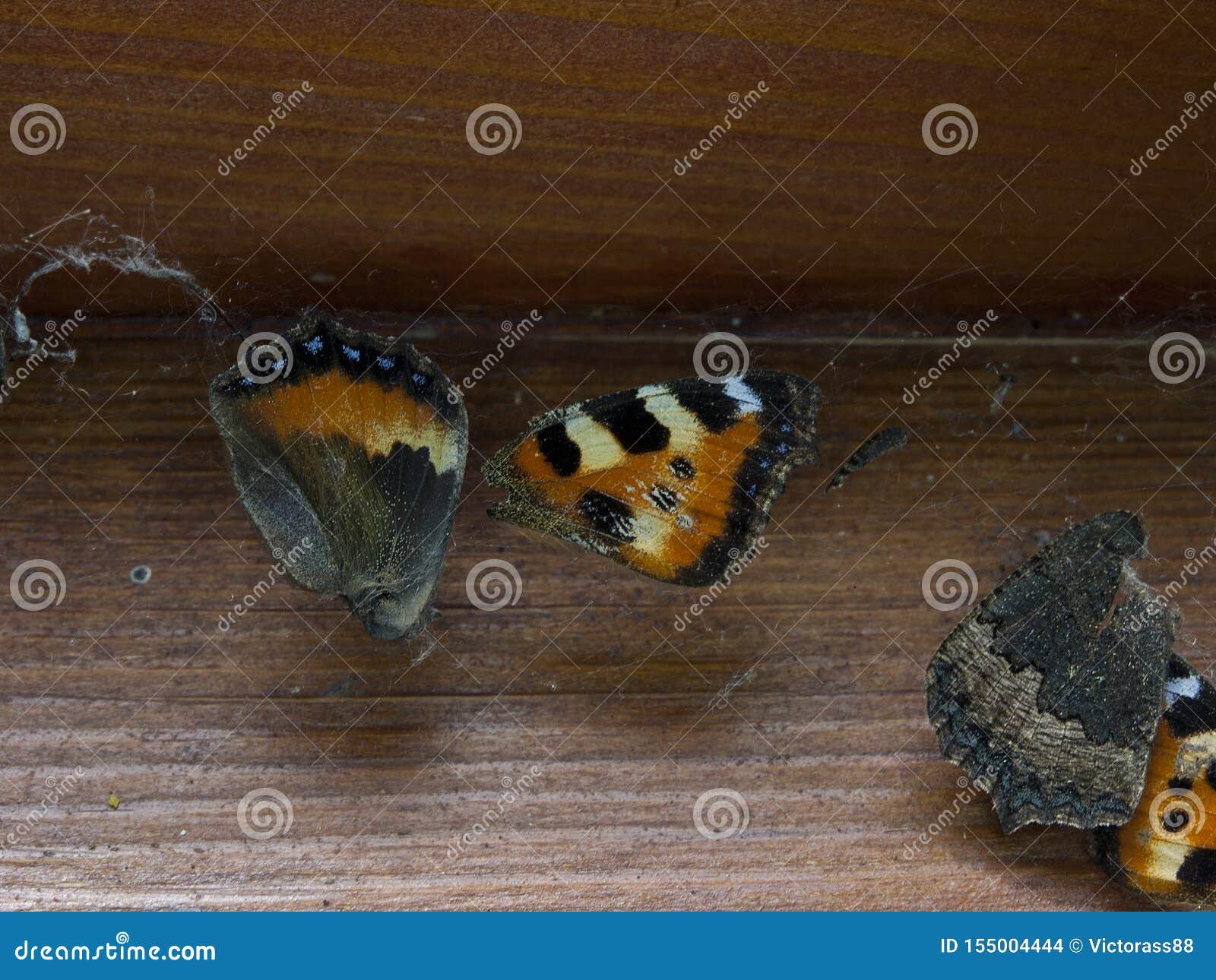 Farfalla morta bloccata in ragnatela