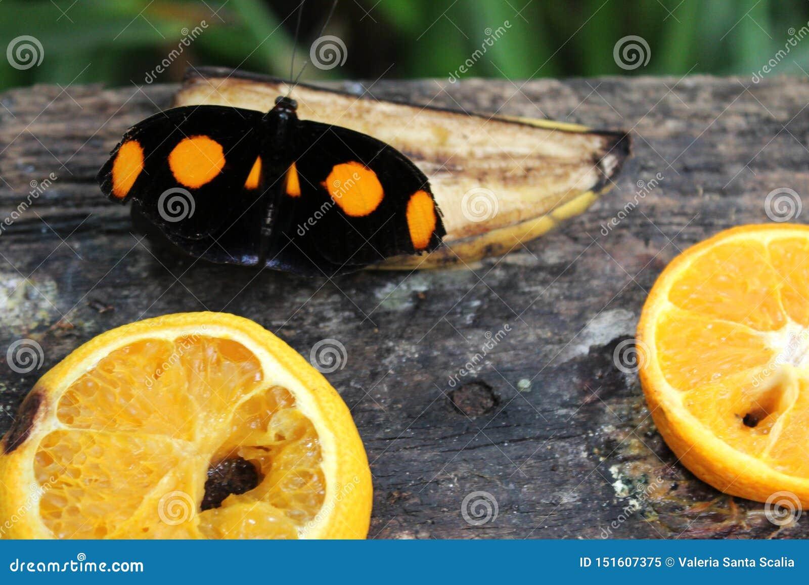 Farfalla nera con i punti arancio sui frutti, sulla banana e sulle arance