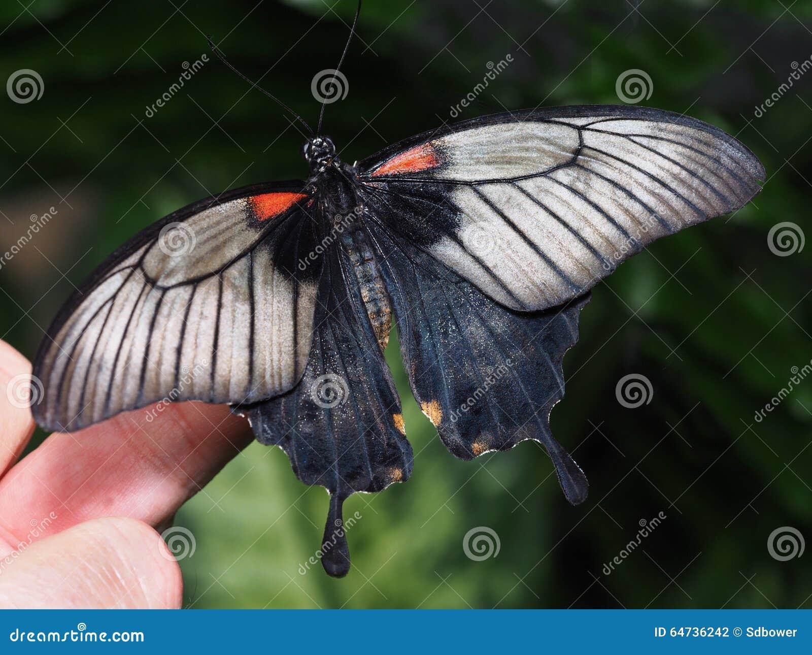 Farfalla nera di coda di rondine su un dito