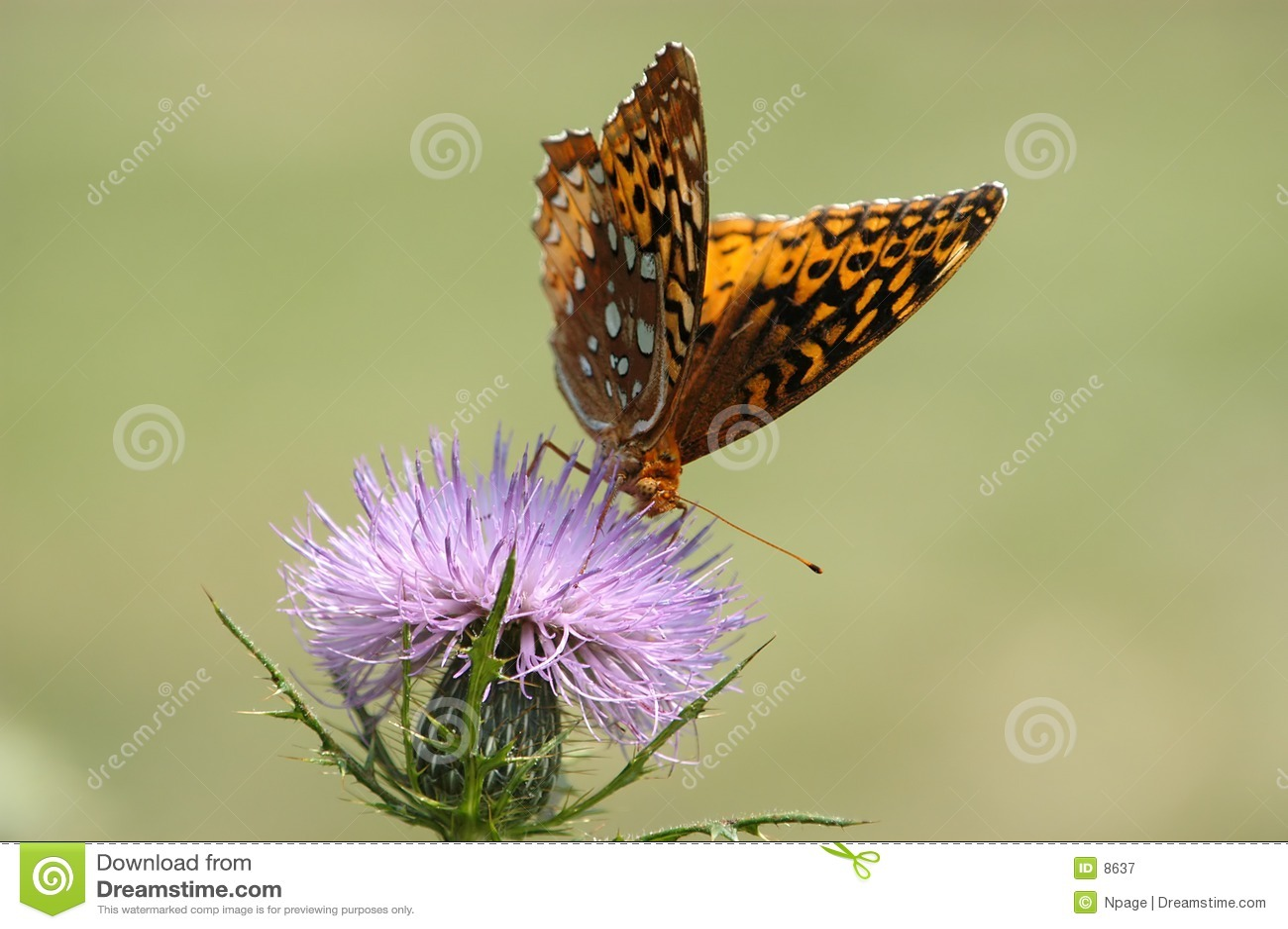 Farfalla no 4