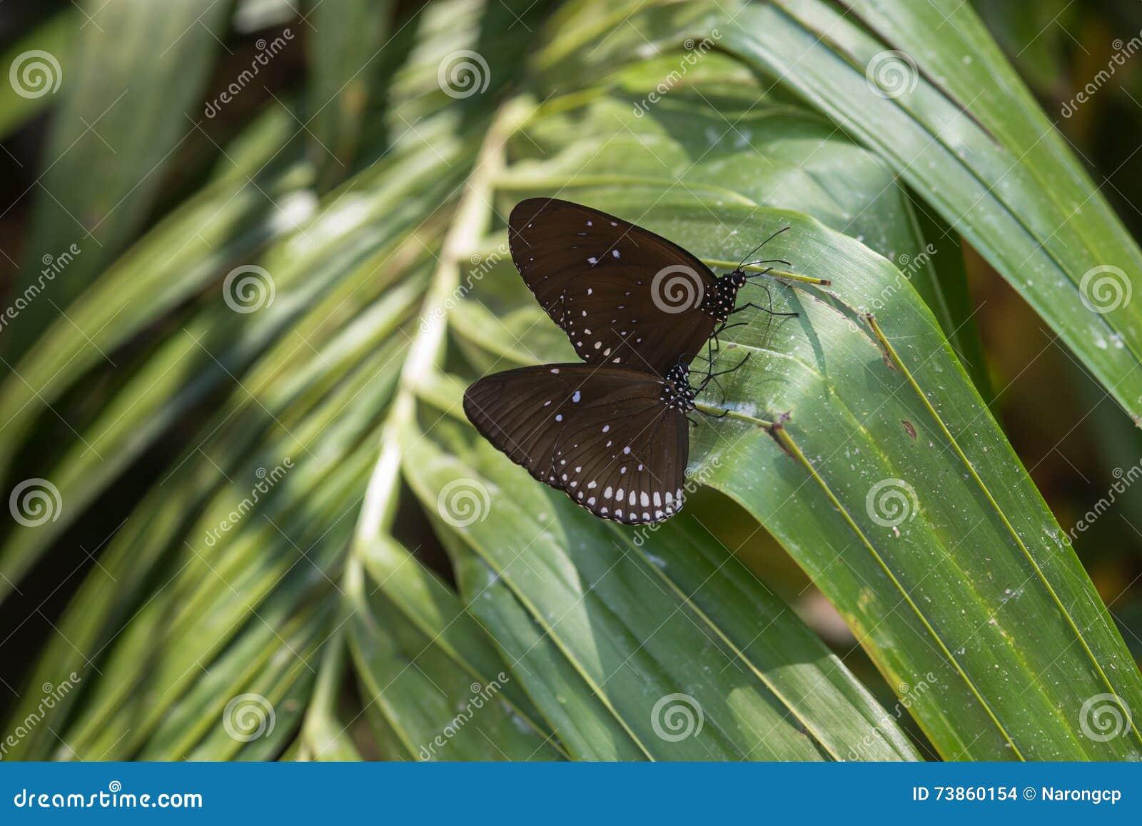 Farfalla - tigre vetrosa blu