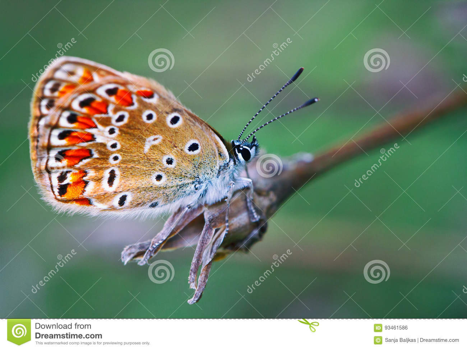 Farfalla variopinta