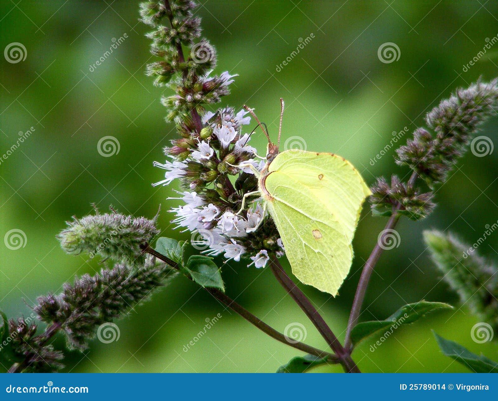 Farfalla verde del brimstone
