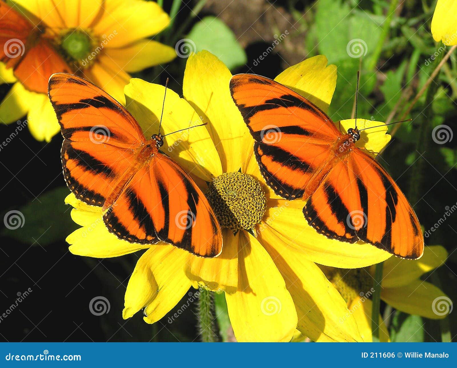 Farfalle arancioni legate