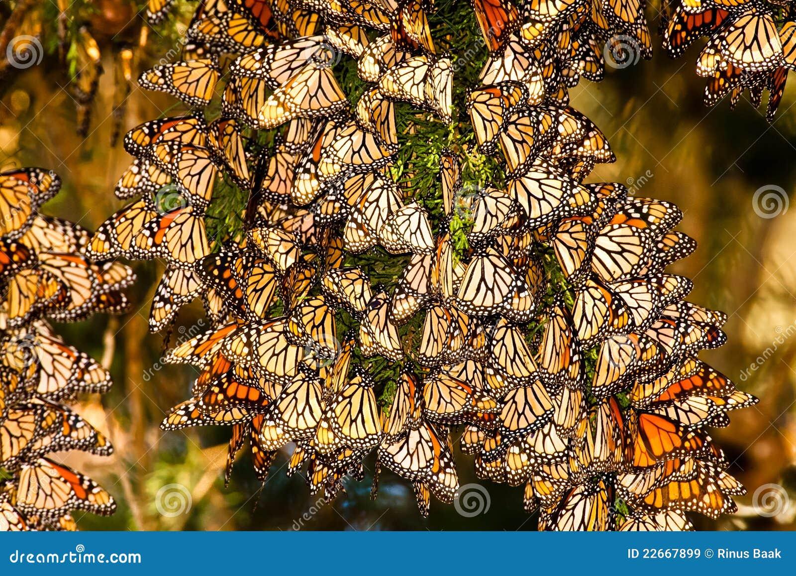 Farfalle di monarca