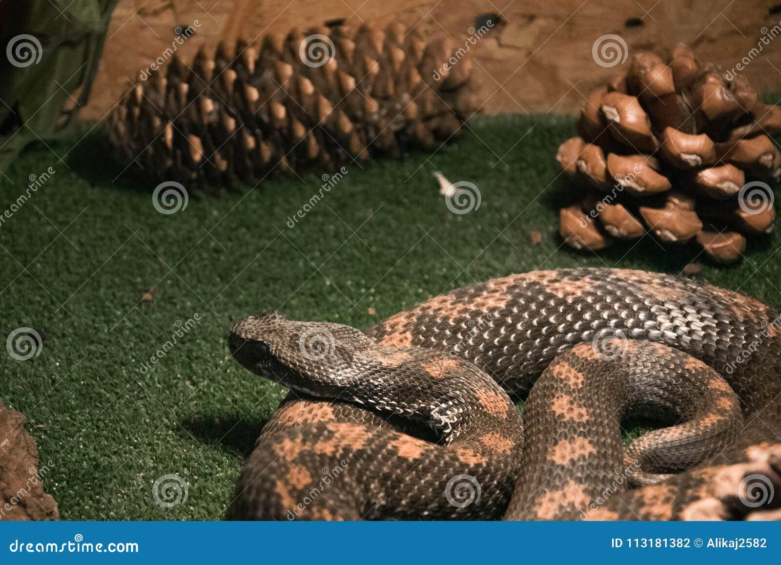 Farlig giftig orm i terrariumen - armenisk huggorm
