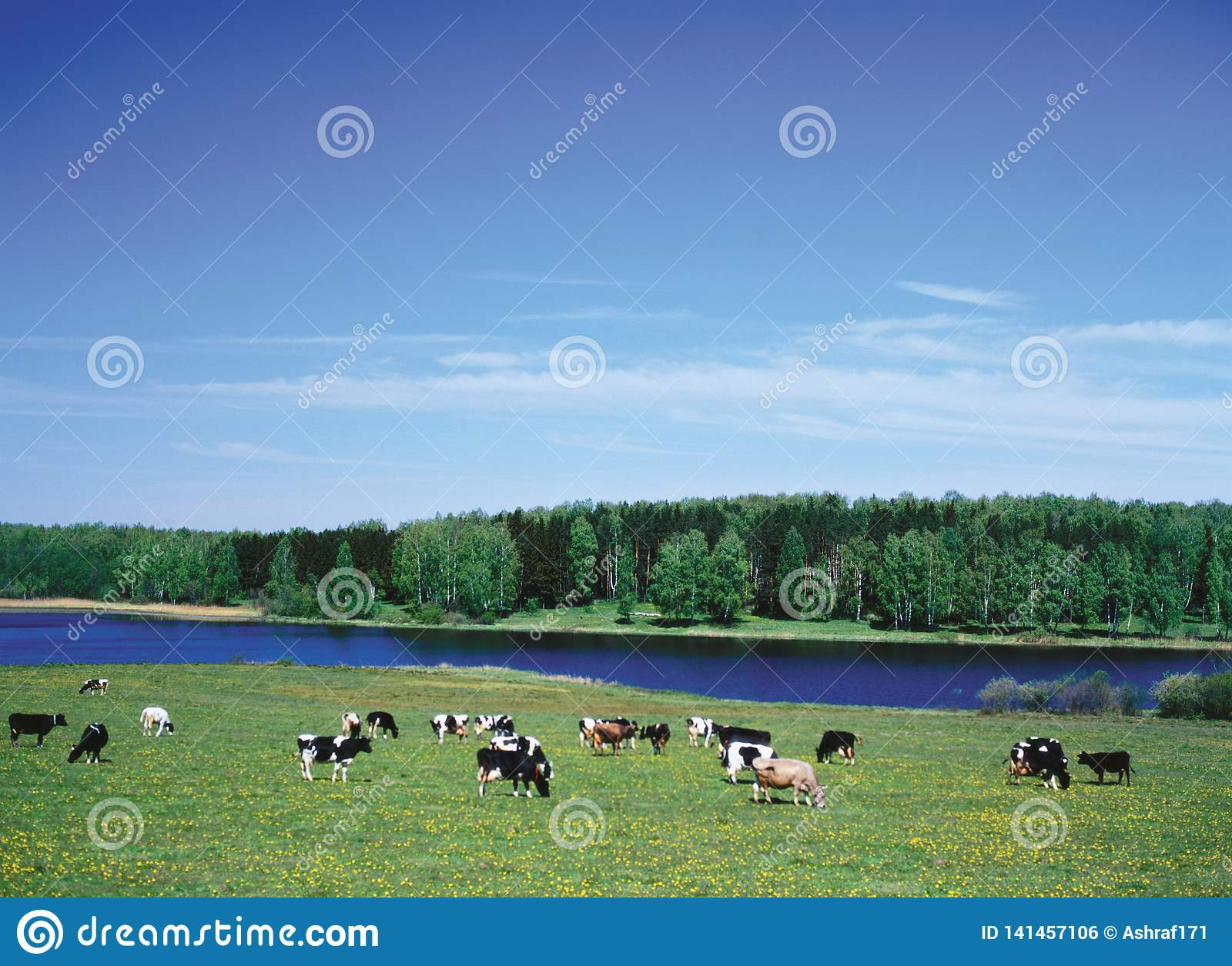 Farm Animals - herd of cattle crowd in Pasture