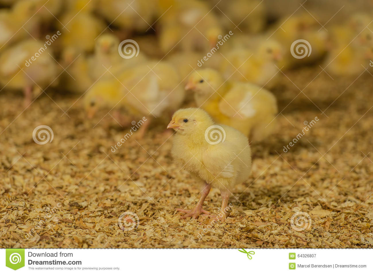 farm animals poultry broilers portrait attentive healthy seven day old slow growing broiler chick 64326807