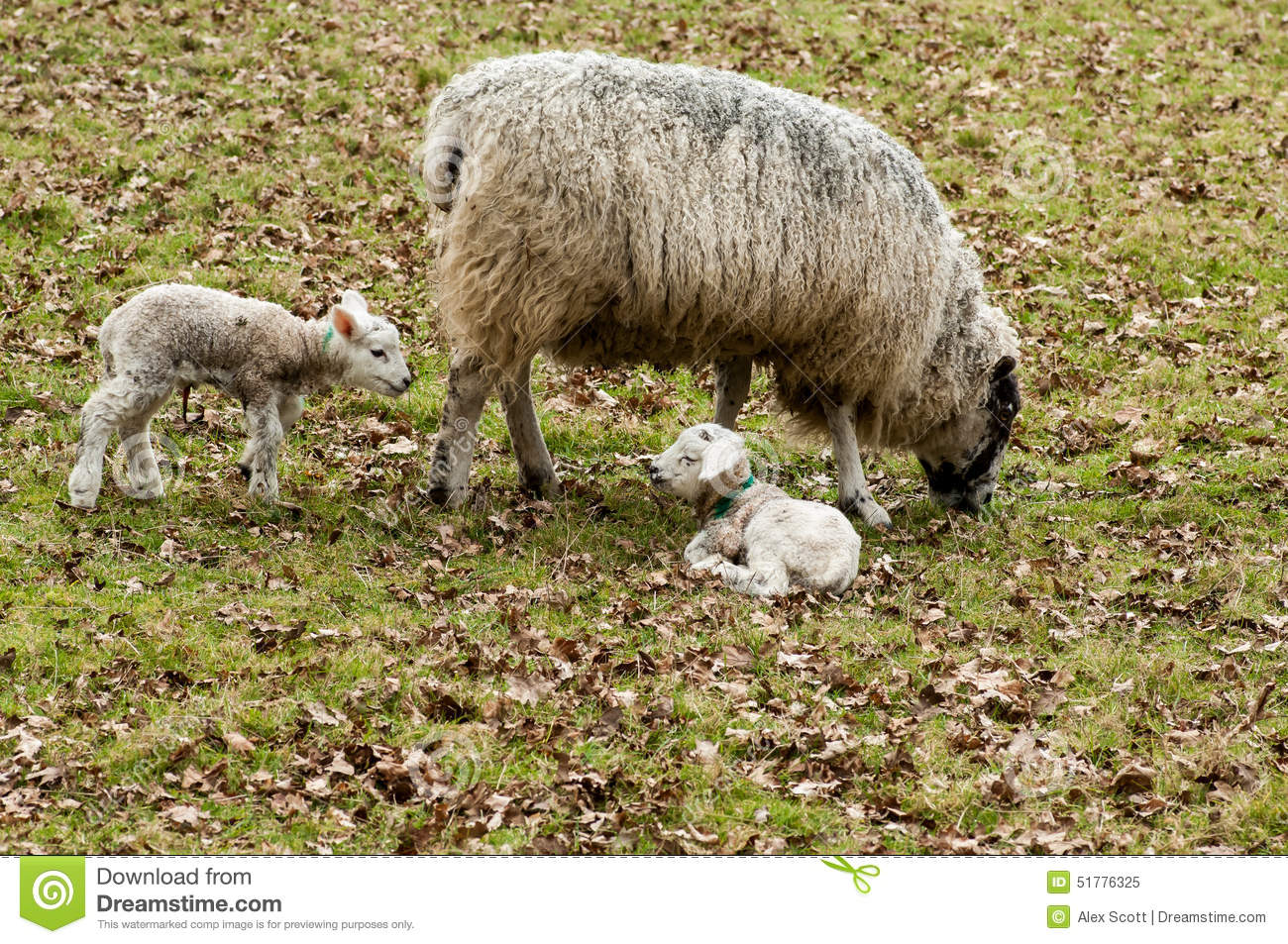 farm animals sheep with lambs stock image image of lambs pasture