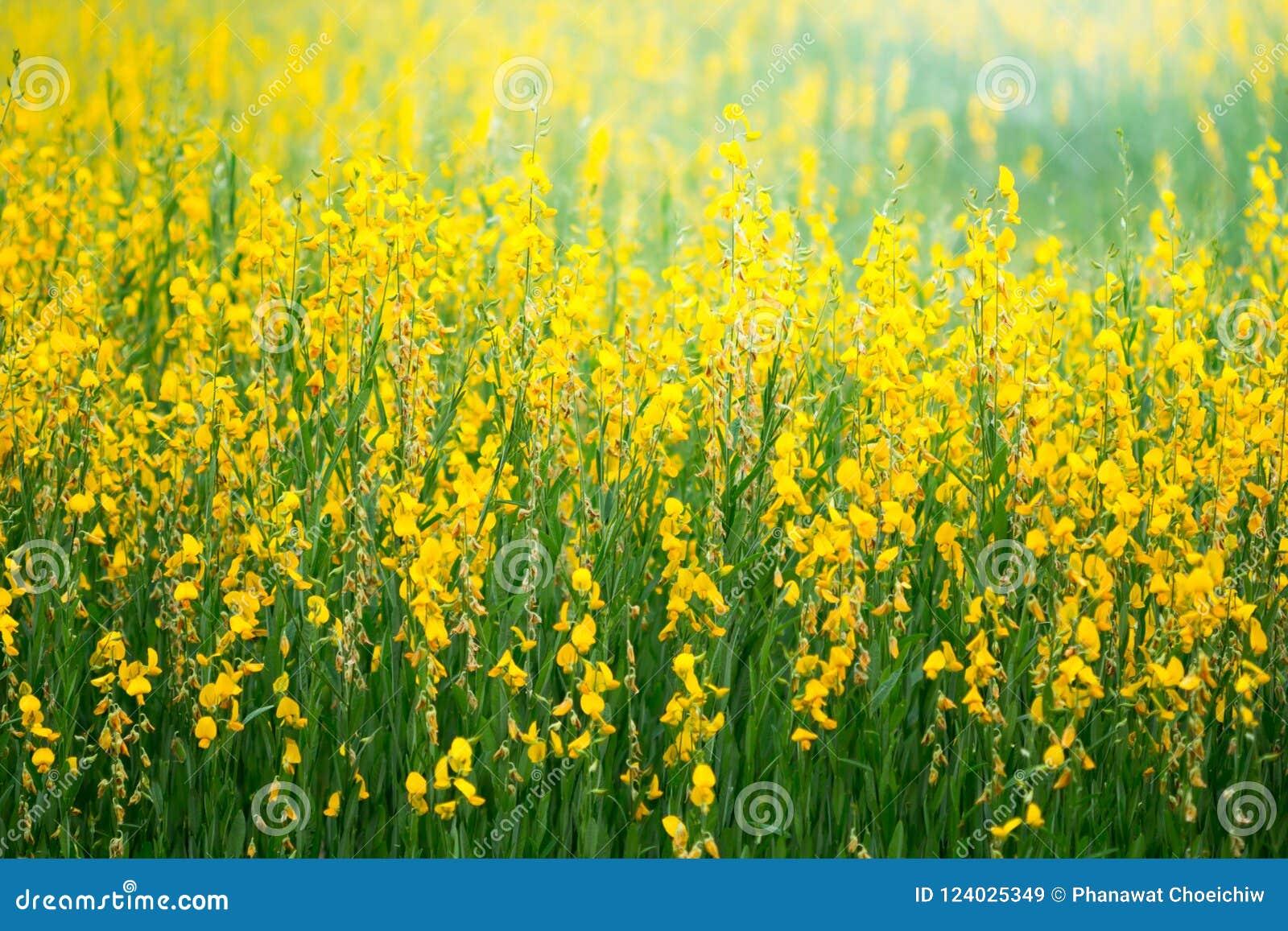 Farm Of Crotalaria Flowerbeautiful Crotalaria Stock Image Image