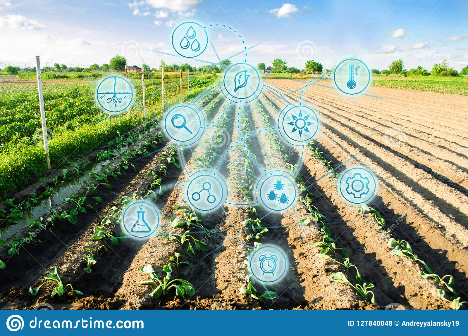 Farm field of cabbage. Young seedlings. Innovations and new technologies in the agricultural business. Scientific development