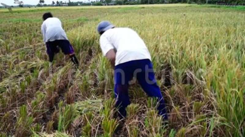 Farm laborers use scythe or sickle in harvesting rice palay grains in the  field  Grain, handheld