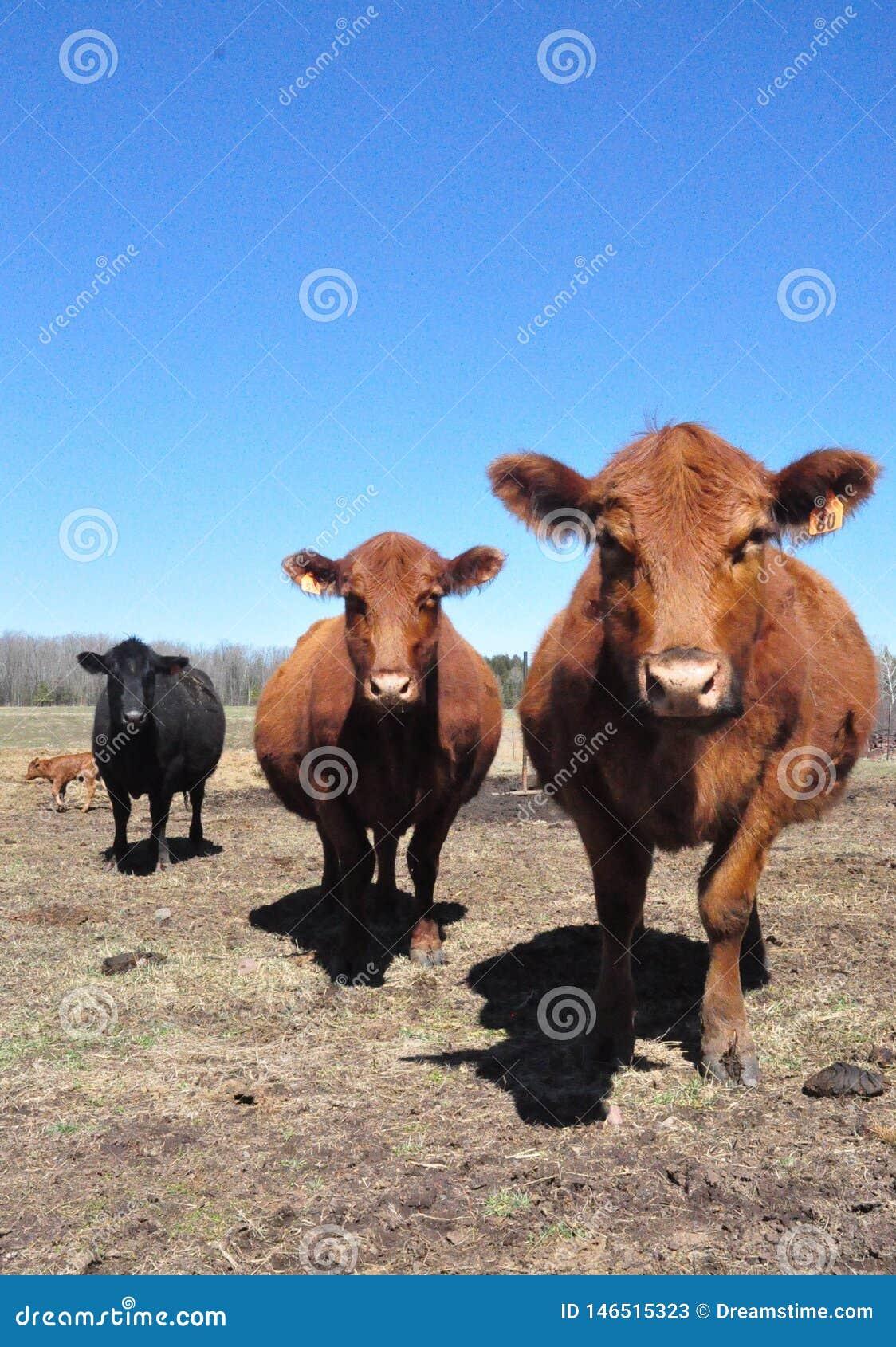 Schultz Cows Photo