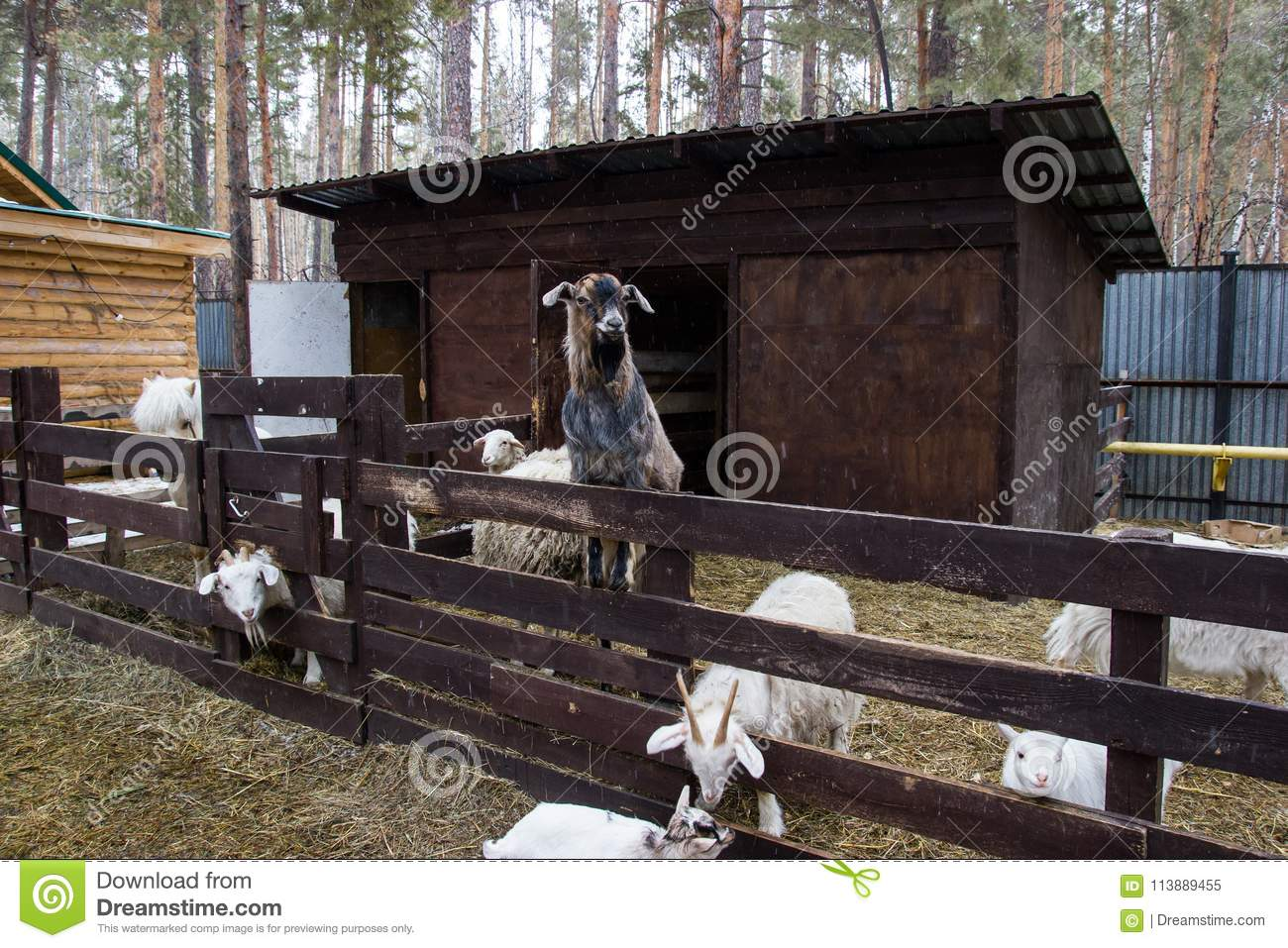 Farm with sheep and goats stock image  Image of sheep