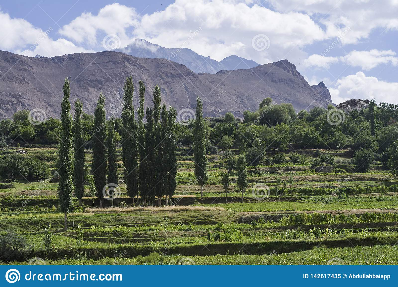 A farm of Poplar trees in Hoper village, Nagar, Pakistan