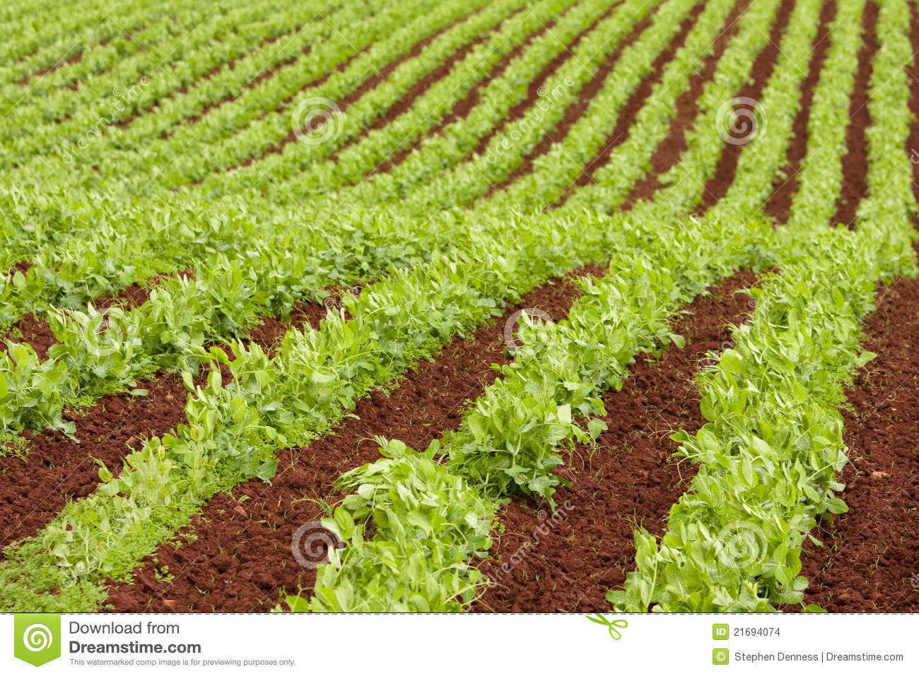 Stock Images Farm Rows Fresh Pea Plants Image21694074 on Sounds Of Farm Animals