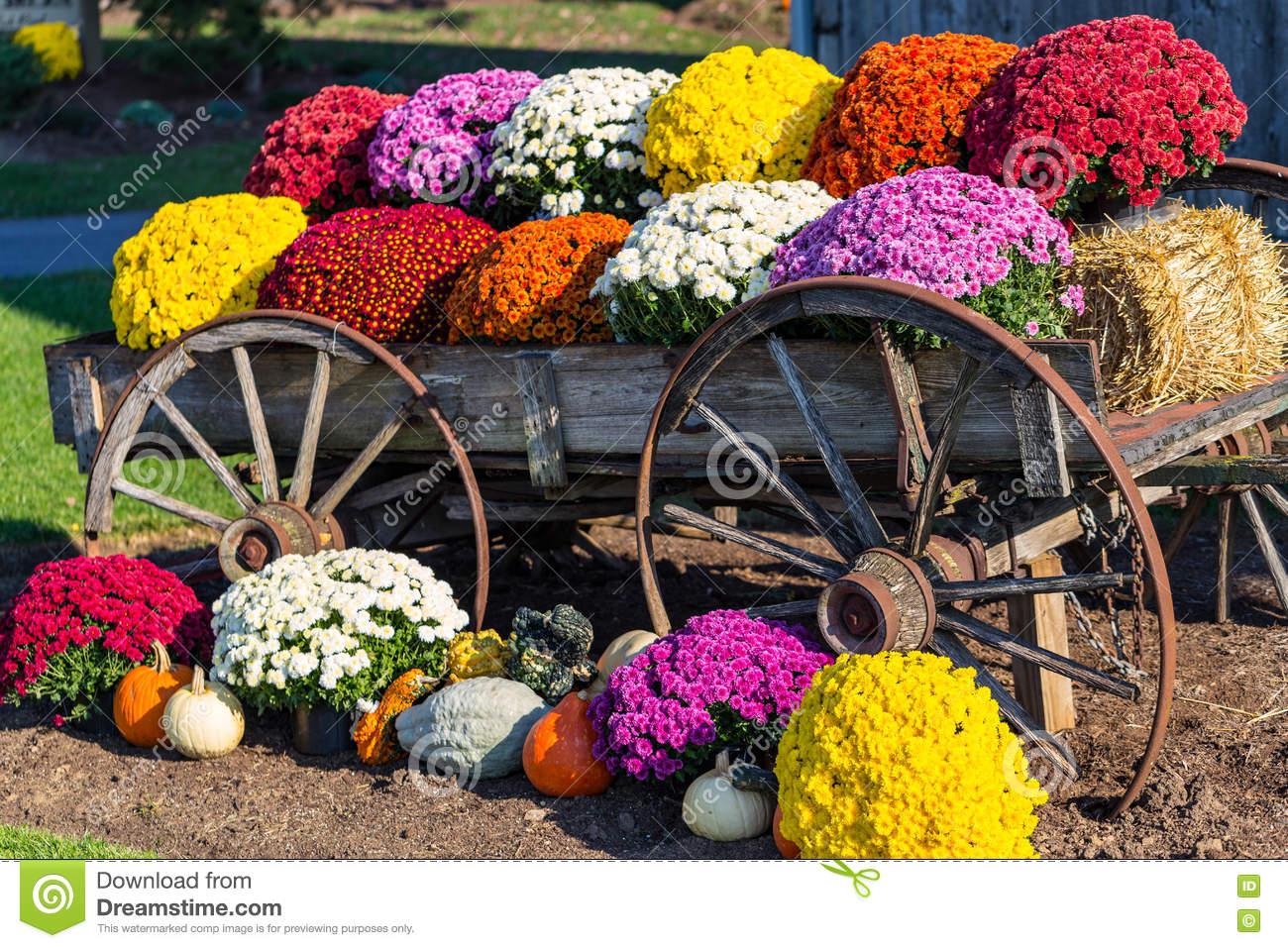 Farm Wagon And Colorful Mums Stock Photo Image Of