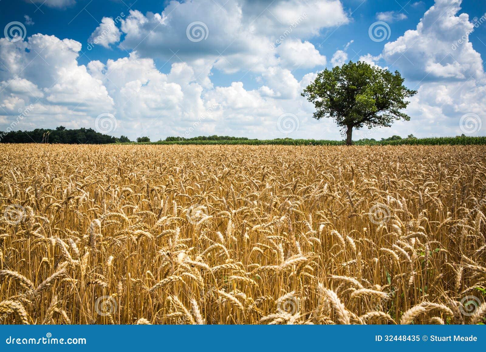 Farm Wheat Field Royalty Free Stock Photo Image 32448435