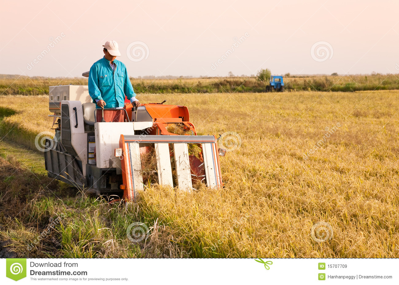 Farm worker harvesting rice
