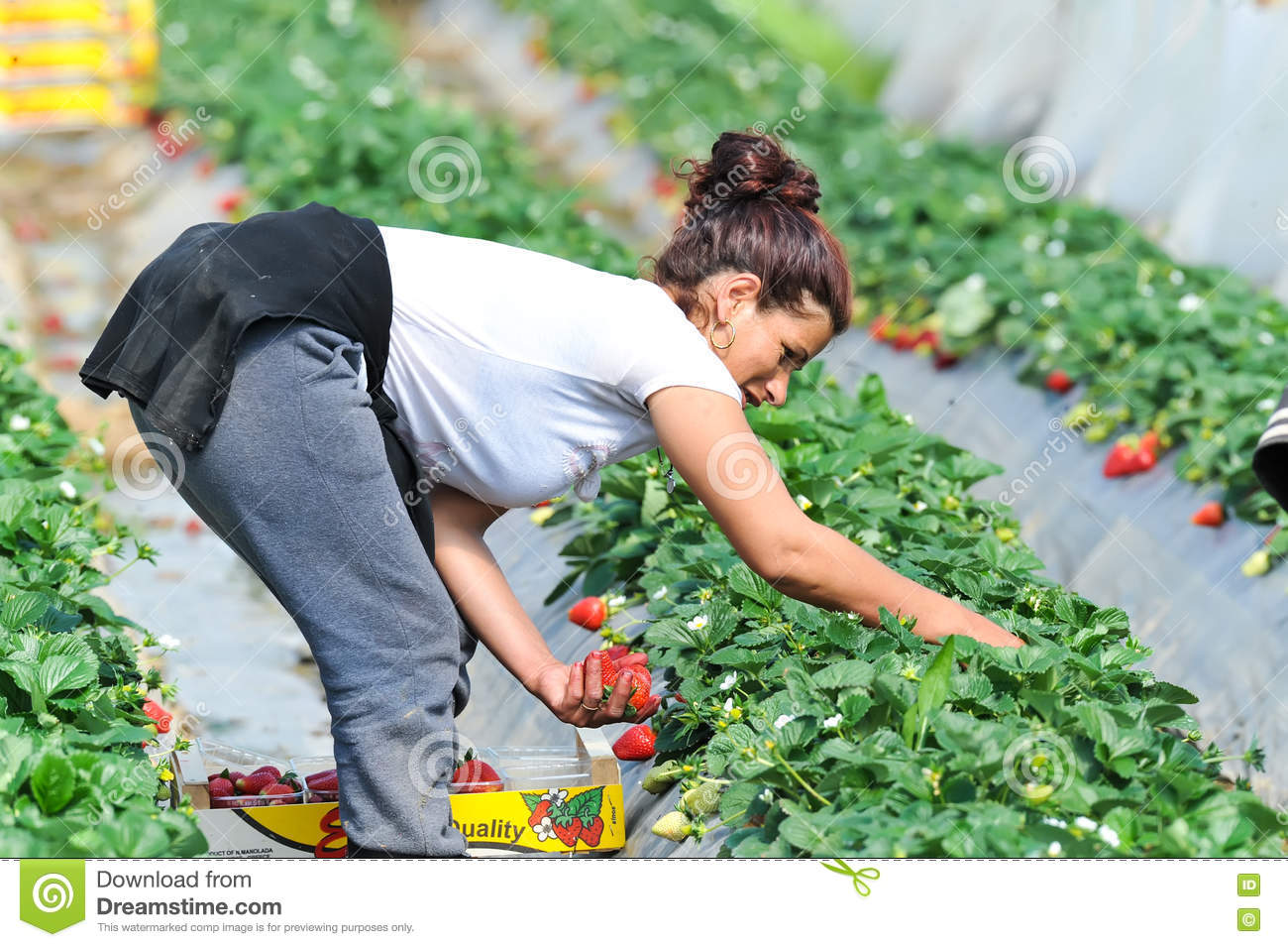 strawberry valley guys Fruit guys is new zealand's number one corporate fruit delivery company  supplying more than 800 business's with fresh fruit every week with over 30  years of.