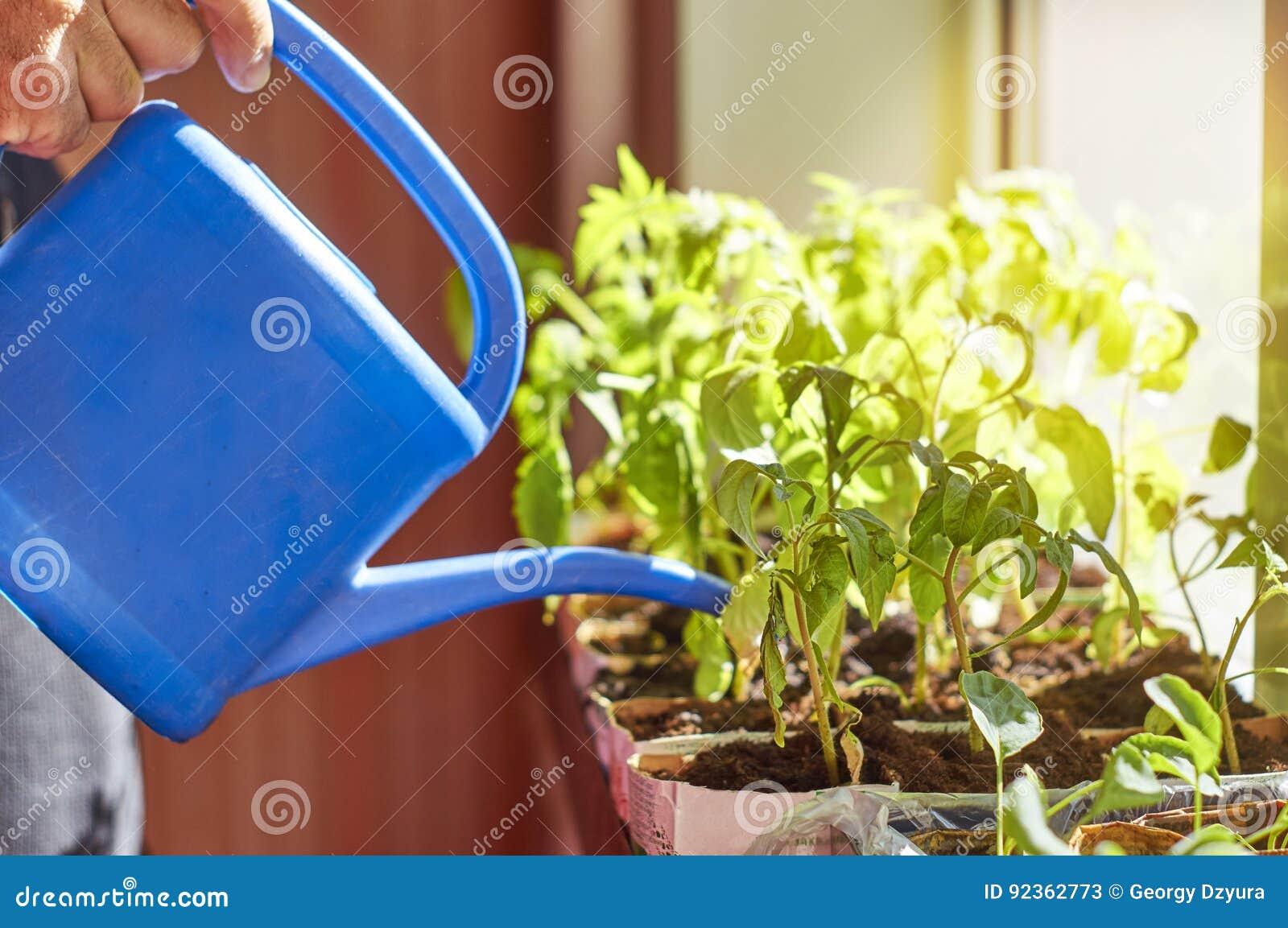 Farmer που ποτίζει τα φυτικά σπορόφυτα