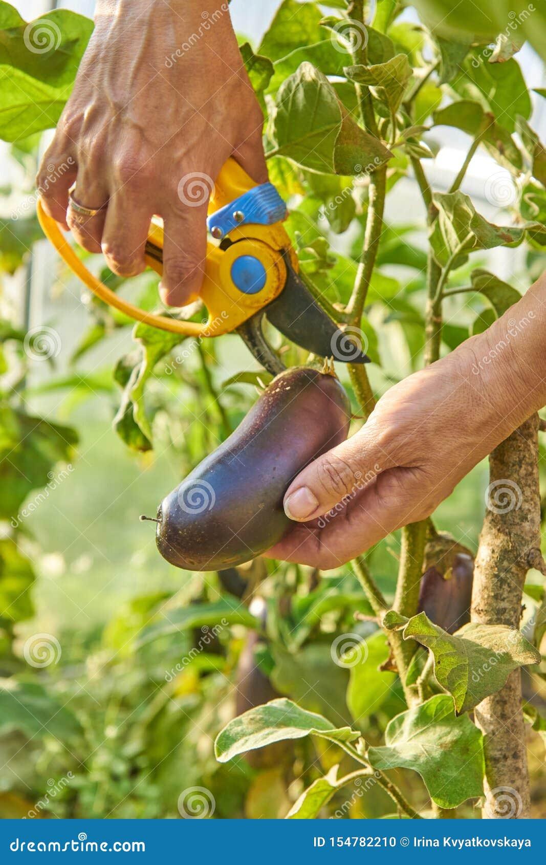 Farmer που συγκομίζει τις οργανικές ώριμες μελιτζάνες στο θερμοκήπιο με τον κήπο pruner Έννοια γεωργίας και κηπουρικής