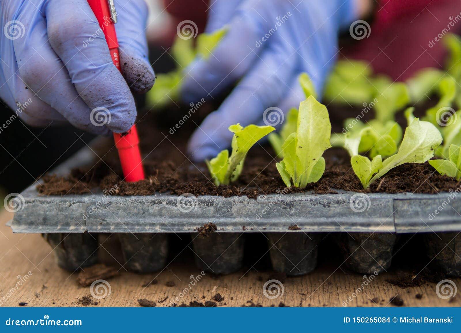 Farmer που φυτεύει τα νέα σπορόφυτα της σαλάτας μαρουλιού