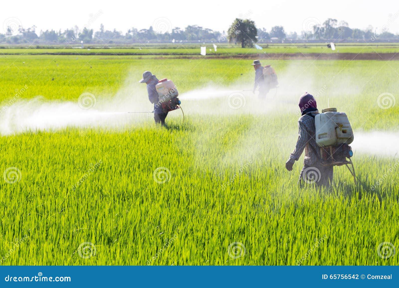 Farmer που ψεκάζει το φυτοφάρμακο στον τομέα ρυζιού