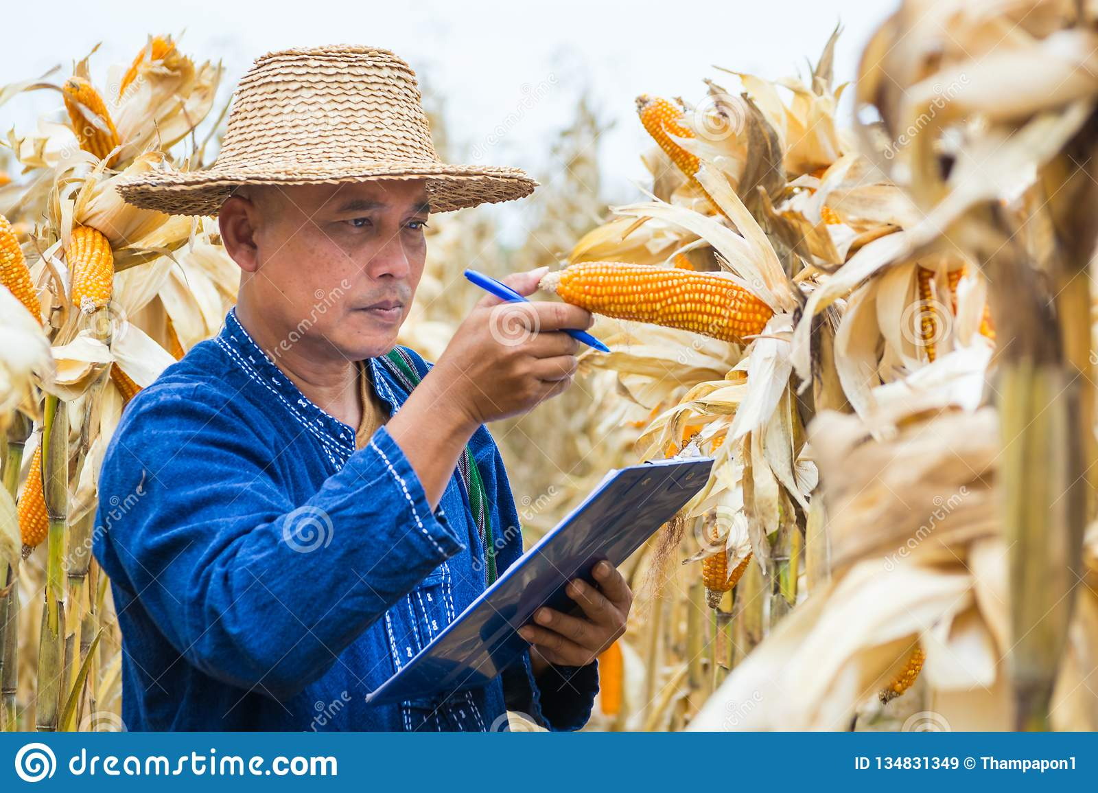 Farmer or Biologist inspect Check or Analyze and Research Raw Corn Cob