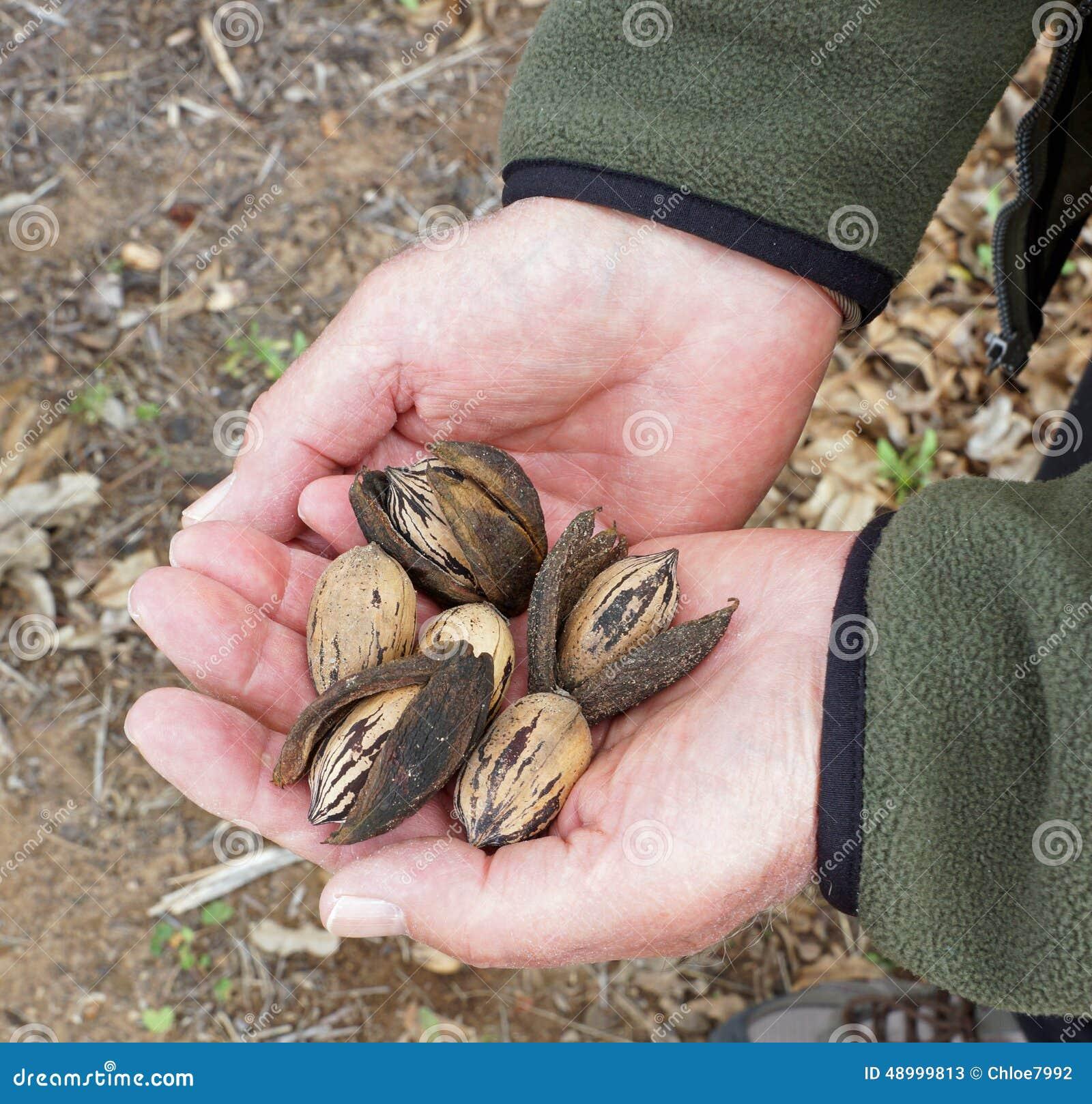 Farmer checks his crop of pecans