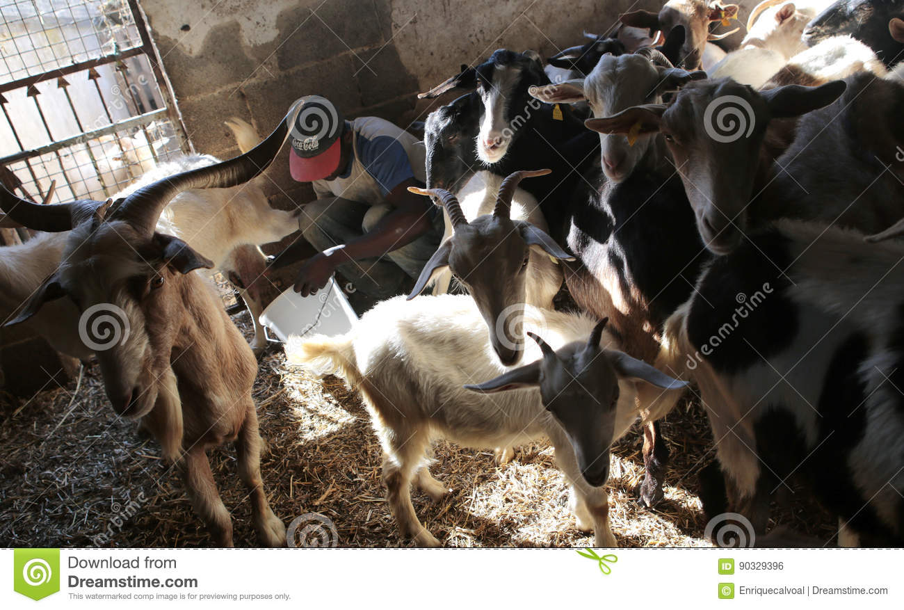 Farmer Drawing Goat Milk Surrounded By Animals At Stable