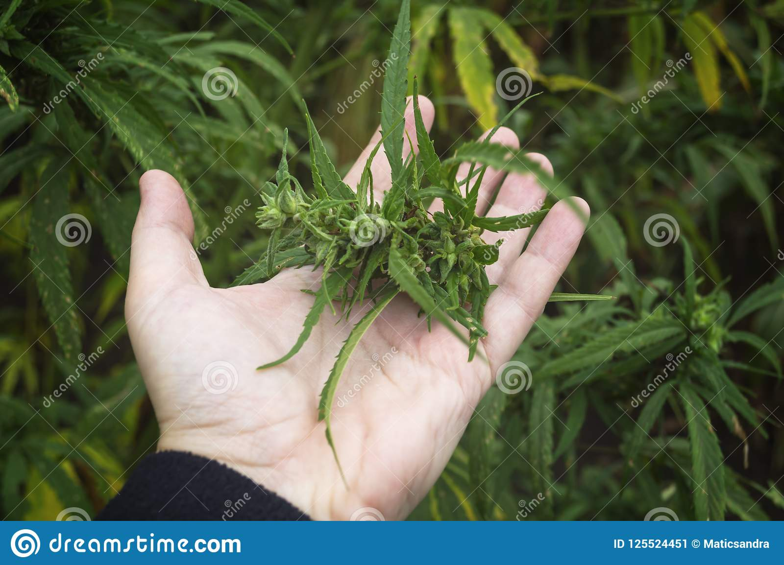 Farmer examination marijuana Cannabis sativa flowering cannabis plant and bud