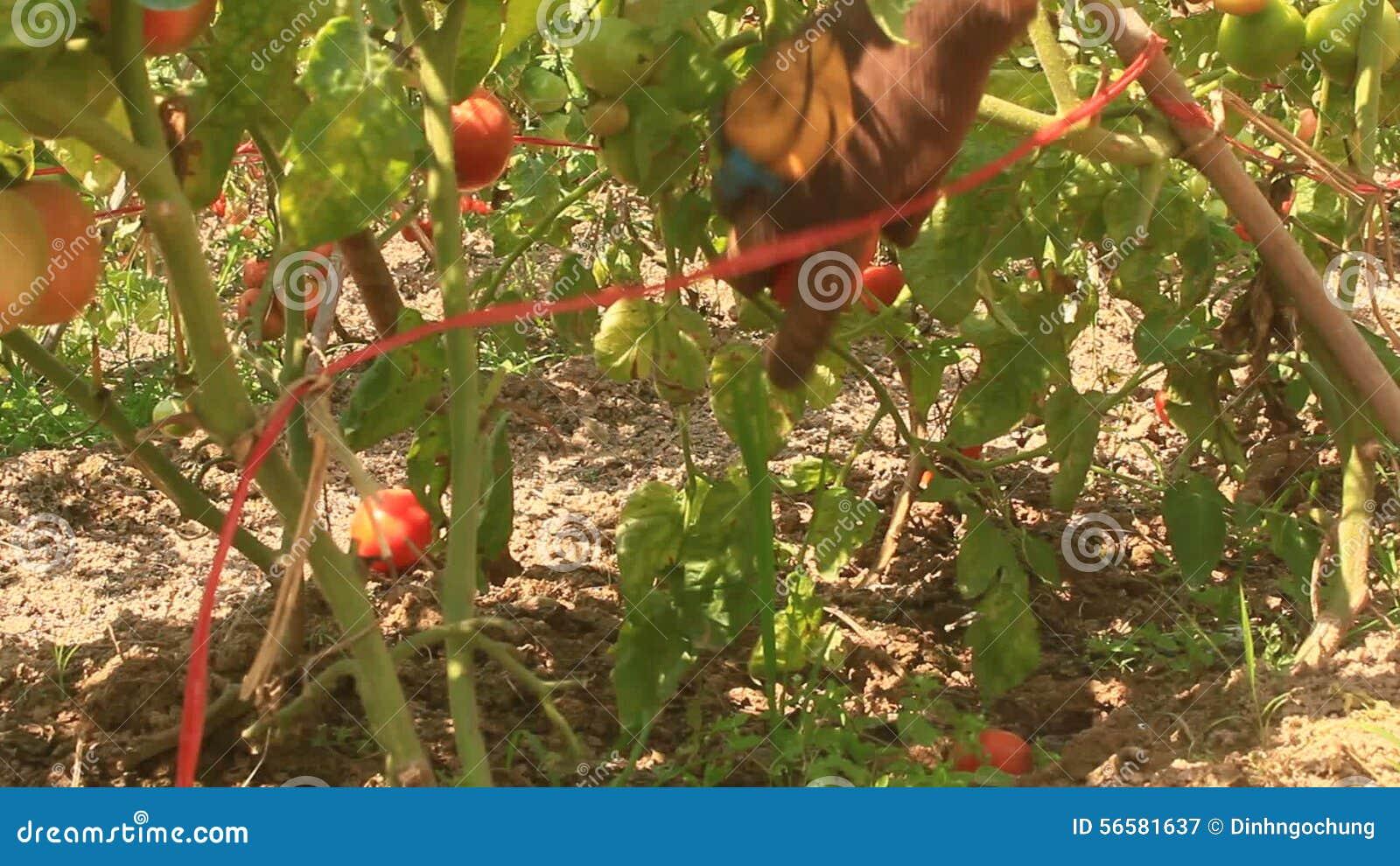 Farmer Hand Picking Ripe Tomato In Vegetable Garden Stock Video ...