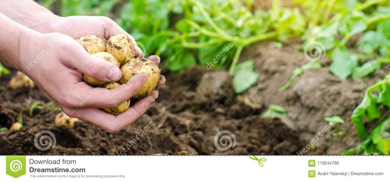 Farmer holds in his hands a young yellow potatoes, harvesting, seasonal work in the field, fresh vegetables, agro-culture, farming
