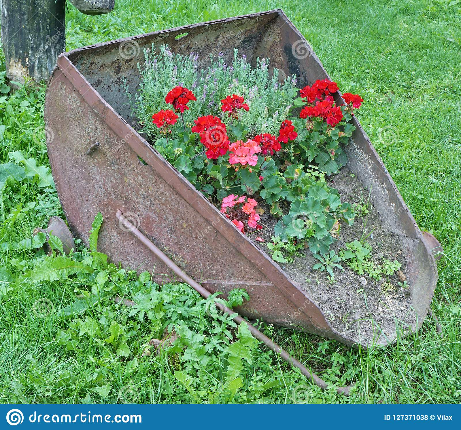 The farmer planted geranium in an old rusty metal bucket of a br