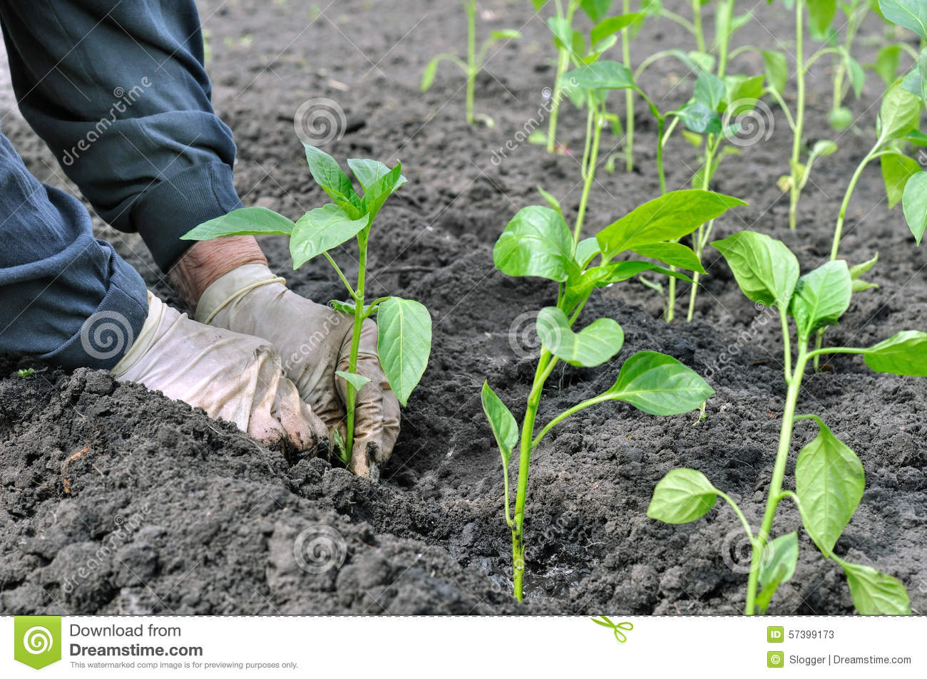 Farmer planting a pepper seedling stock photo image 57399173 - Planting pepper garden ...