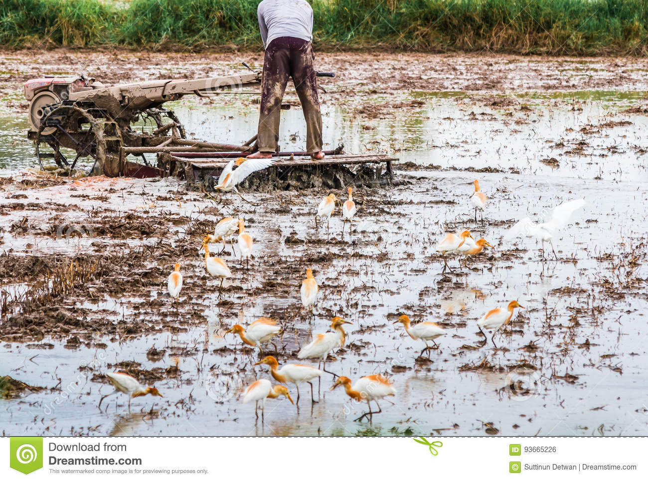 The farmer is plowed with a tractor in his farm and the birds ar