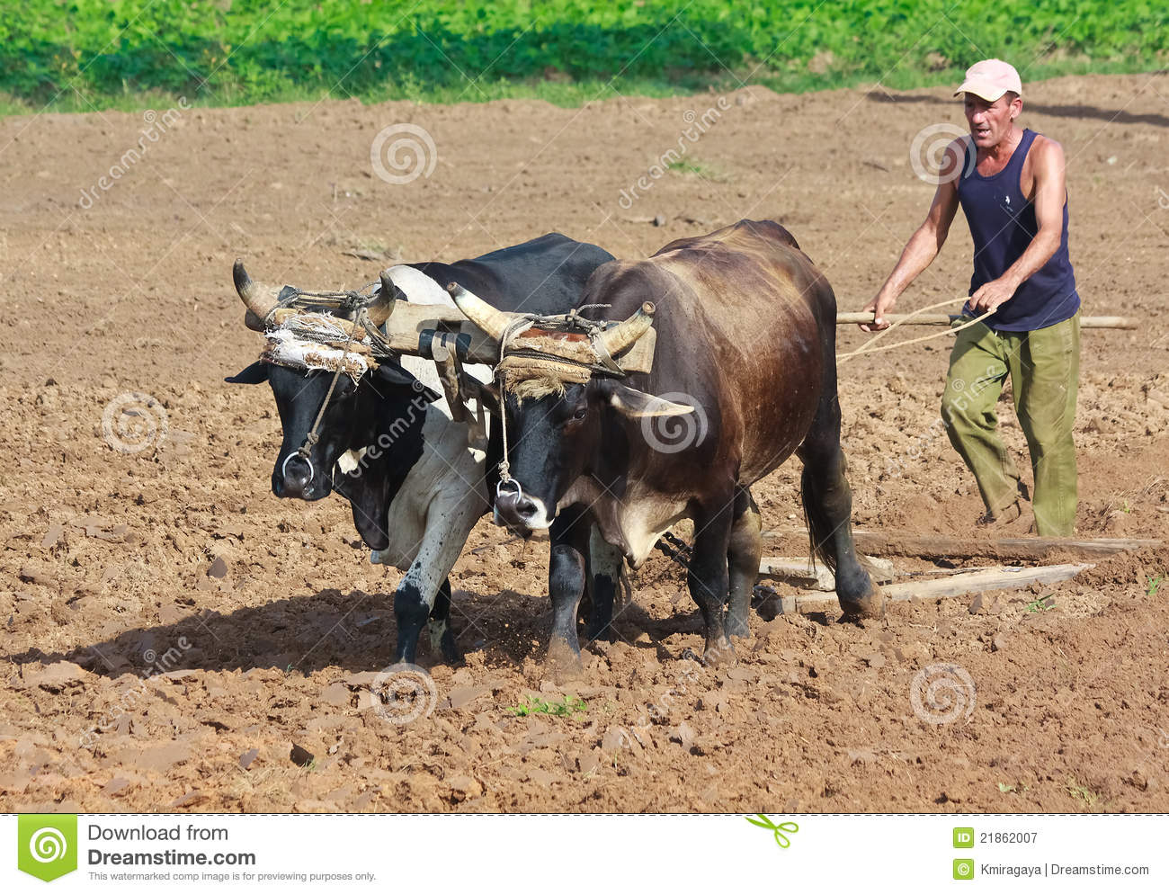 Farmer plowing his field in Pinar del Rio.In the last three years more ...